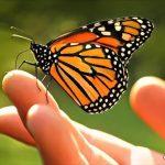 mariposa-monarca11